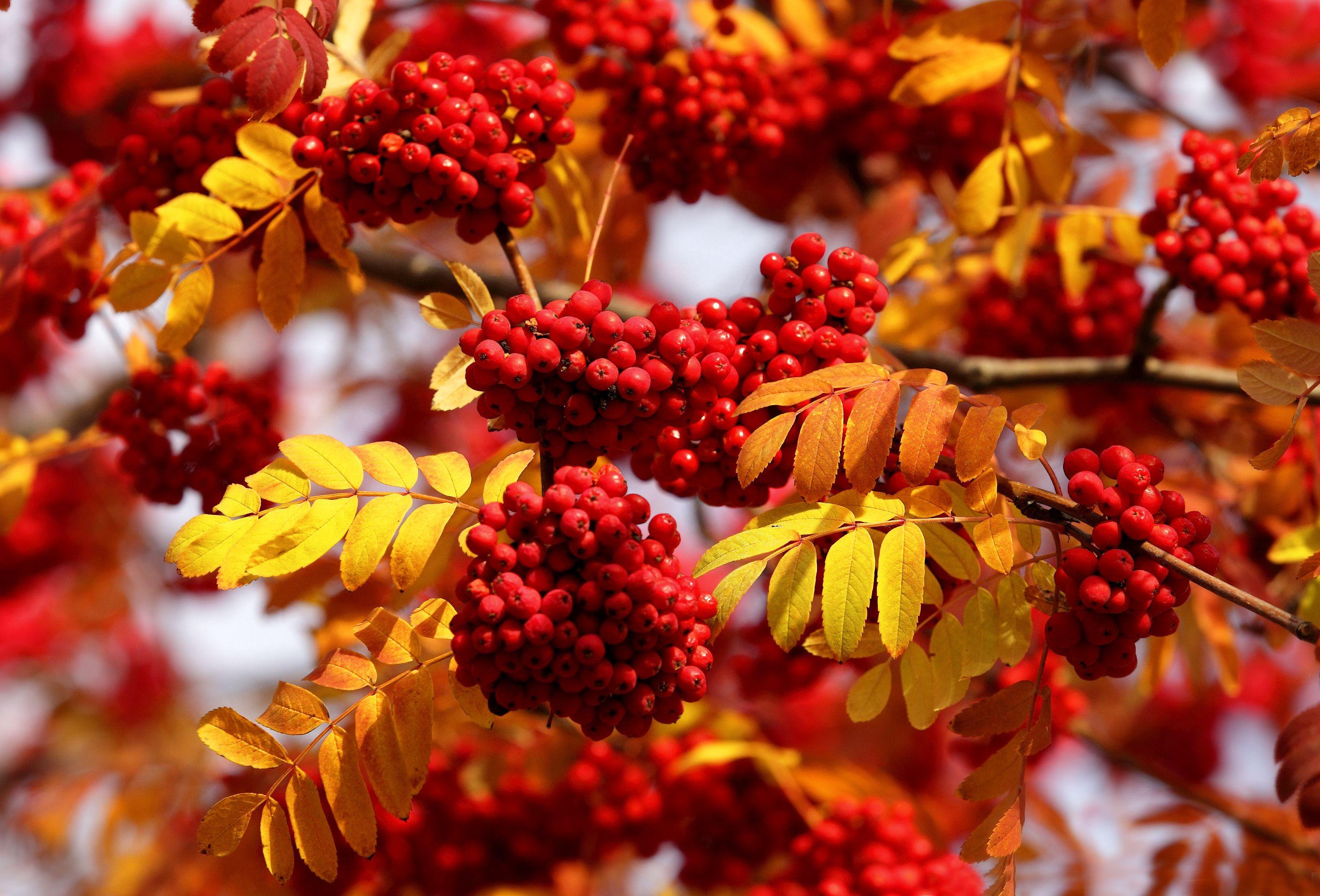 Скачать обои ветки, осень, рябина, листья, раздел природа ...