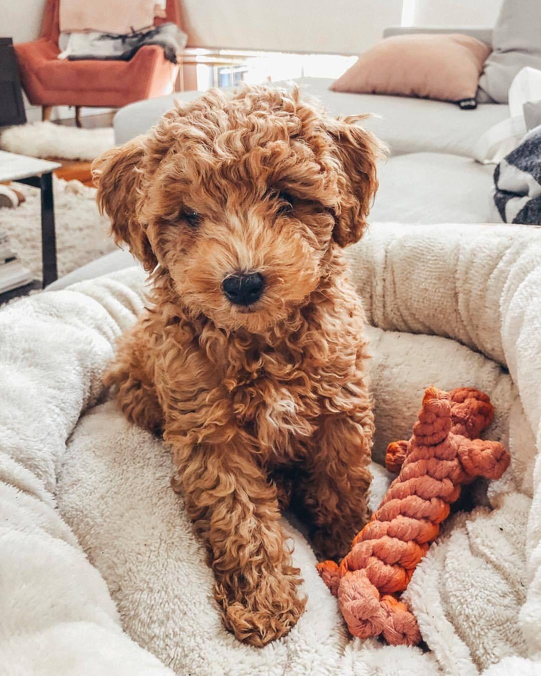 Blogger See Want Shop Pretzel Puppy Poochon Dog Leuke Honden Honden En Puppies Schattige Dieren