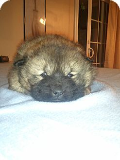 Chow Chow Mix Puppies For Adoption In Upstate Sc Cute Puppies