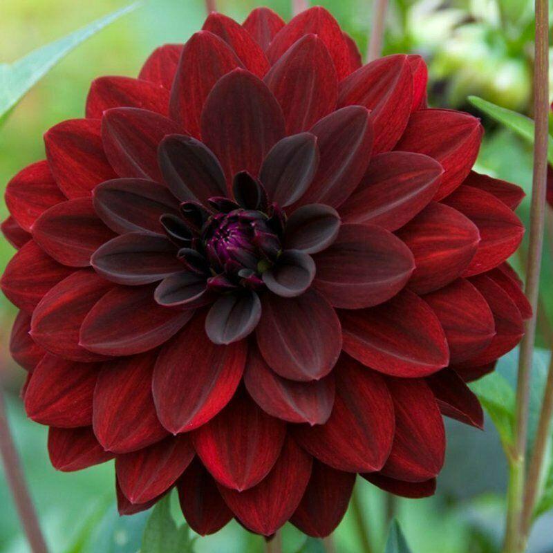 Arabian Night Dahlia Flower Delilah Flower Daliah Flower