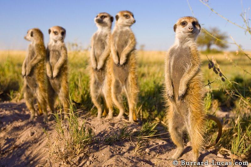 Photograph Meerkats by Will Burrard-Lucas on 500px