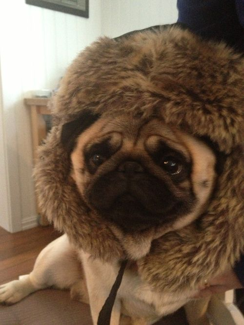 I M Ready For This Cold Weather To End Now Cute Pugs Pug Love