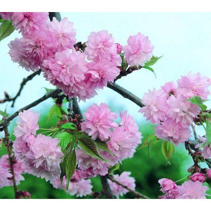 Kiku Shidare Zakura Cheal S Weeping Cherry Bare Root Flowering Cherry Homebase Spring Pastels Pink Flowers Cherry Blossom Tree