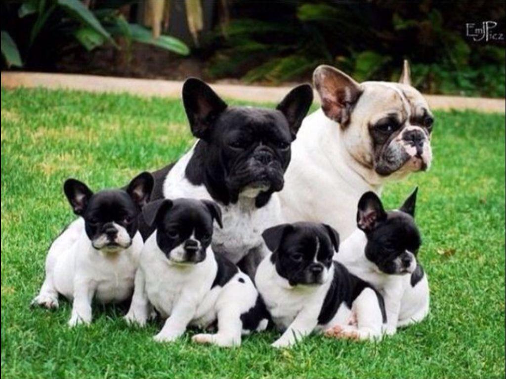 French Bulldog Family French Bulldog Puppies French Bulldog