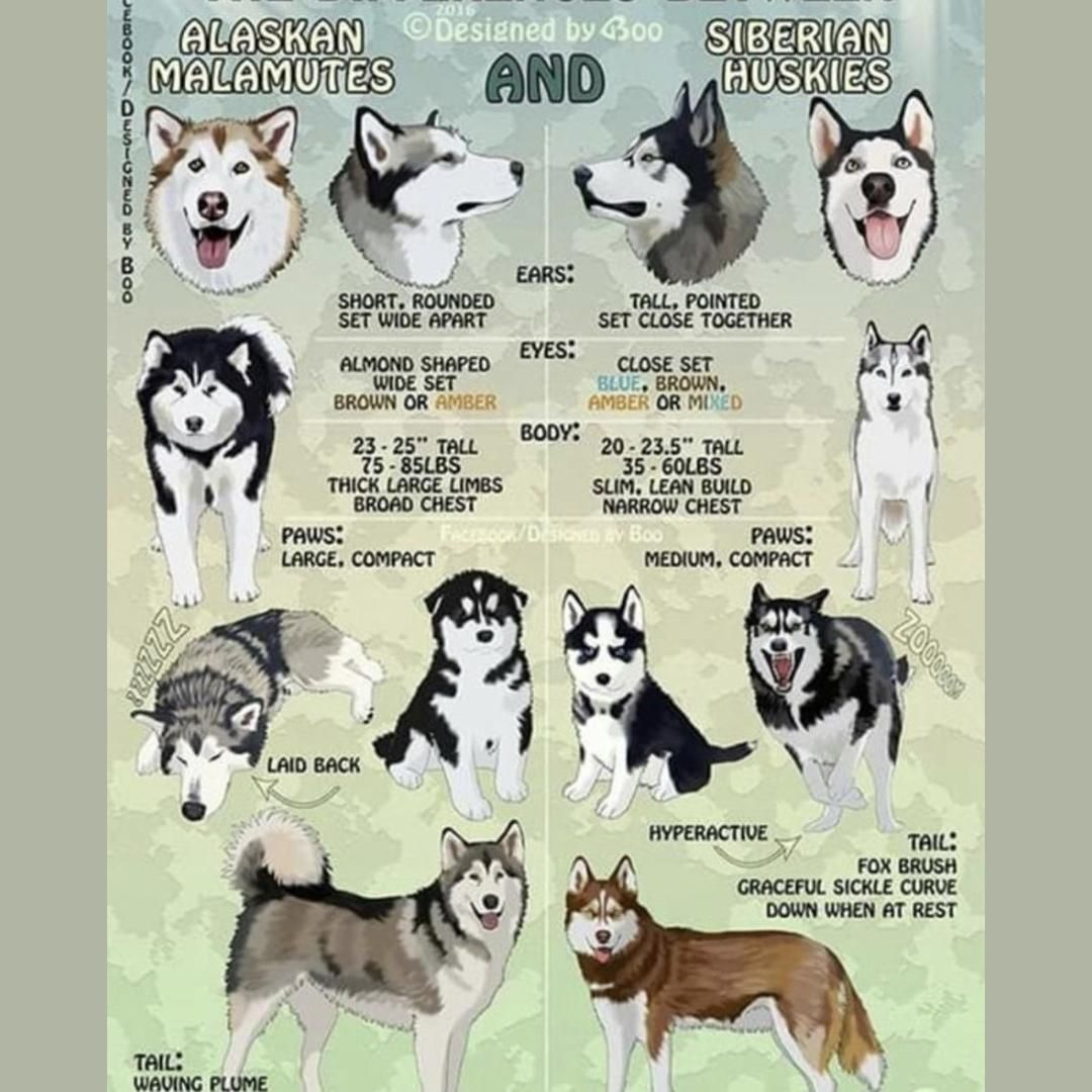 Knowledge Chop Difference Between Siberian Huskies And Alaskan