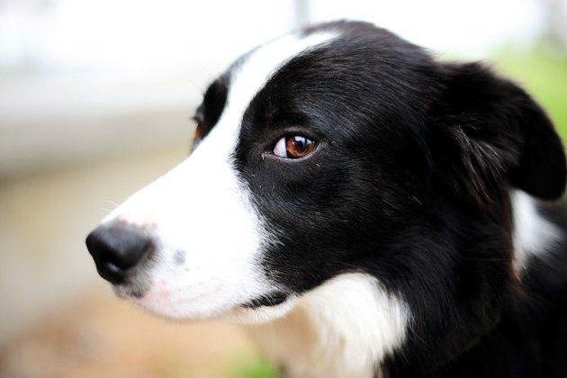 Border Collie Dog Short Haired Border Collie Collie Puppies
