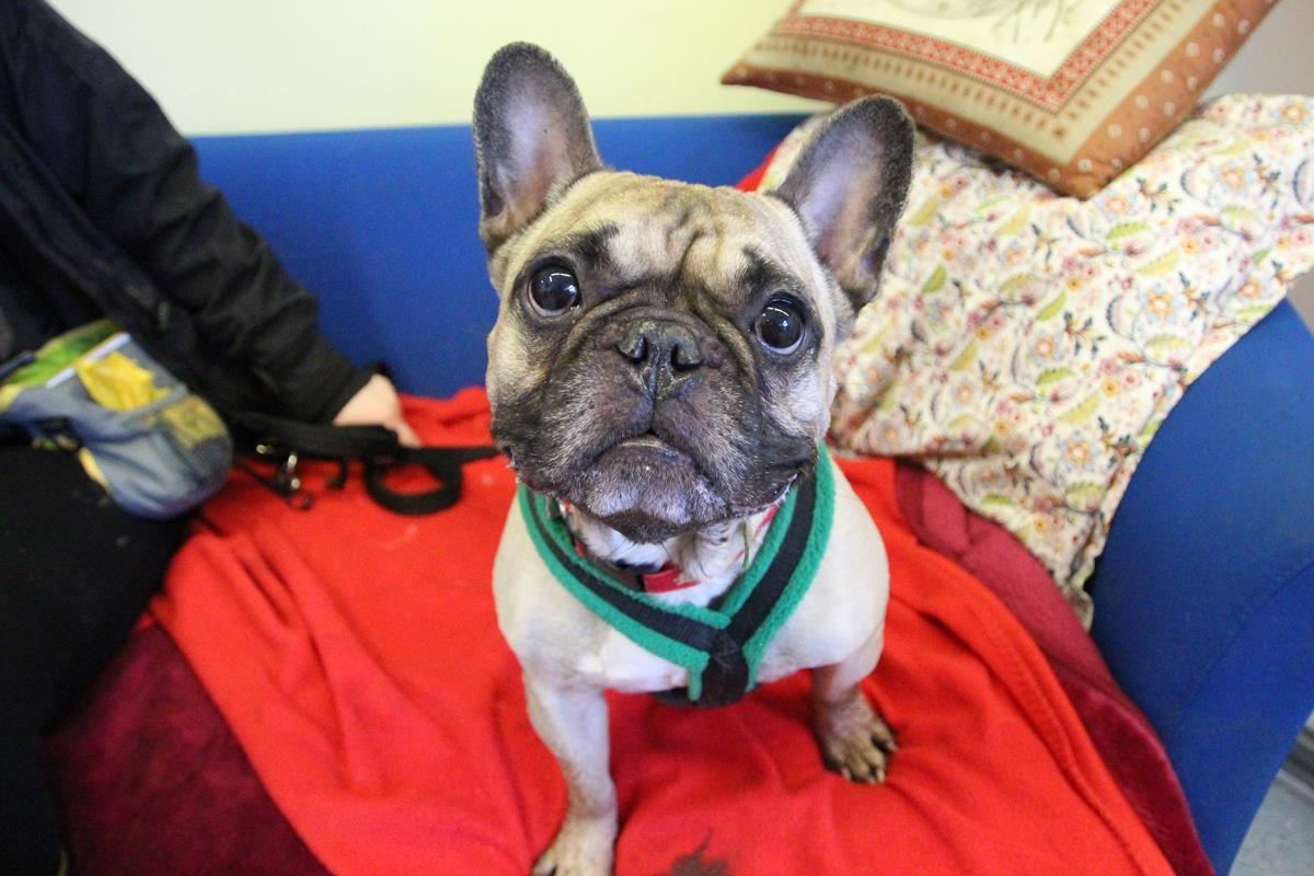 Adopt A Dog Claude Bulldog French Dogs Trust