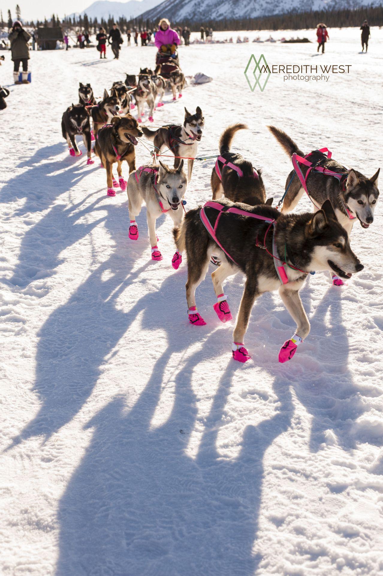 Dogs in pink ) Dog photograph, Alaska dog, Alaskan dog