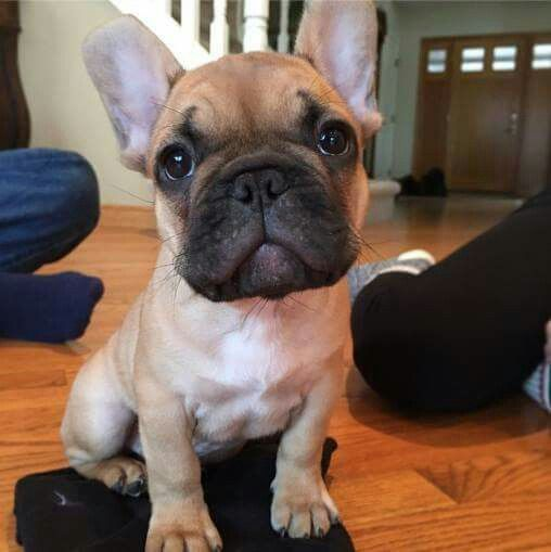 French Bulldog Puppy Cute French Bulldog Bulldog Puppies Cute