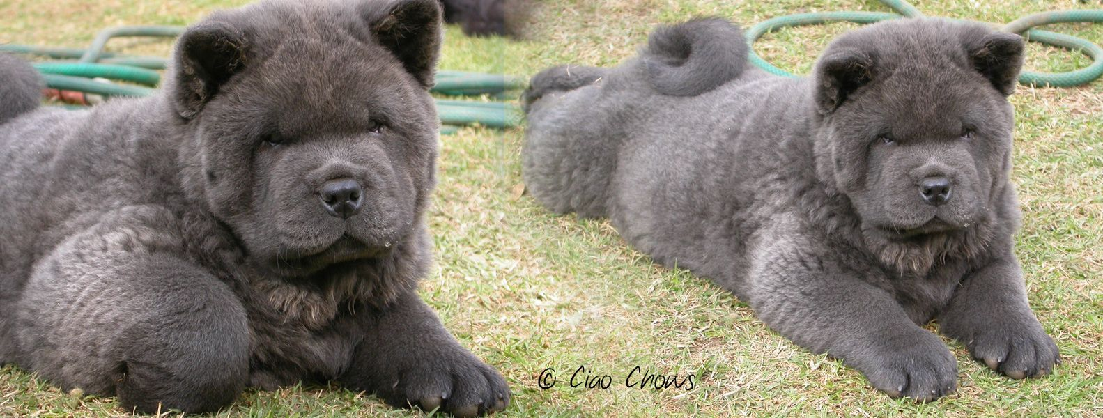 Blue Chow Chow Blue Chow Chow Puppies Rough And Smooth Chow