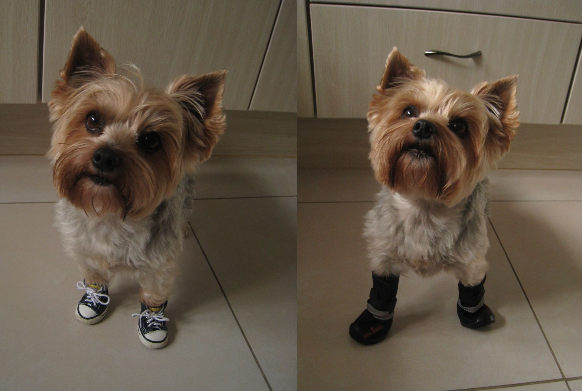 Yorkie Coco Is Modeling Her Summer Dog Sneakers And Winter Dog