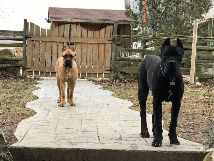 Maximilian Cane Corso Breeder Of The Cane Corso In Ontario Gatos