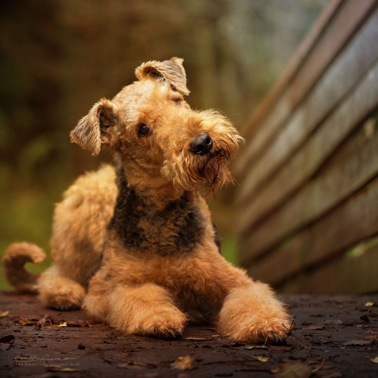 Airedale...What a beauty!