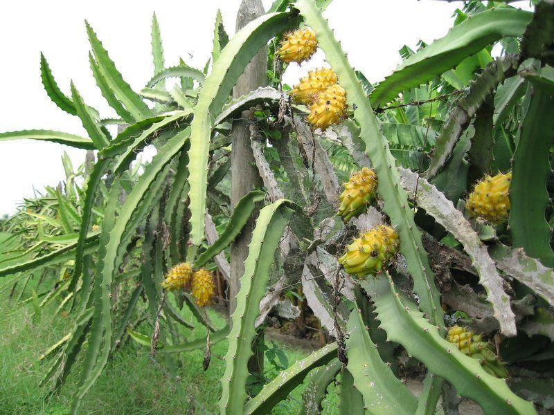 Pitahaya jaune arbre pitaya pitaya jaune yellow for Plante tropicale exterieur