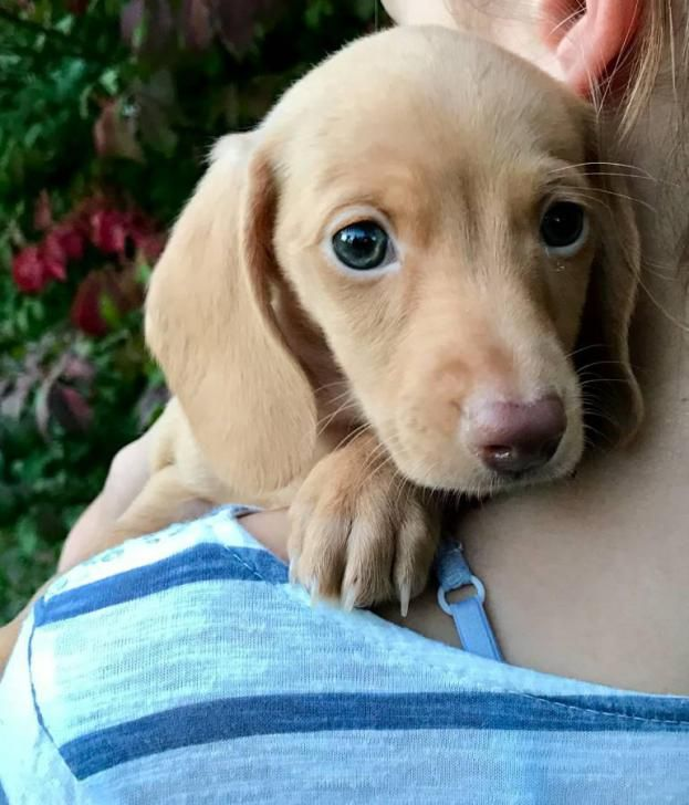 Miniature Dachshund Puppies For Sale Dachshund Puppy Miniature