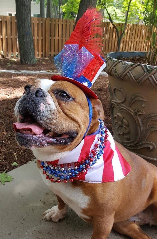 Adopt JULES ADOPTED!!! on English bulldog dog