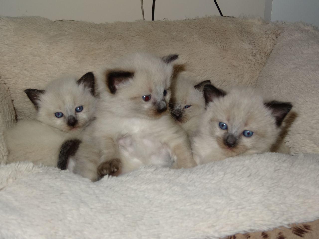Siamese X Ragdoll Kittens Oldham Greater Manchester Pets4homes Kittens Ragdoll Ragdoll Kitten