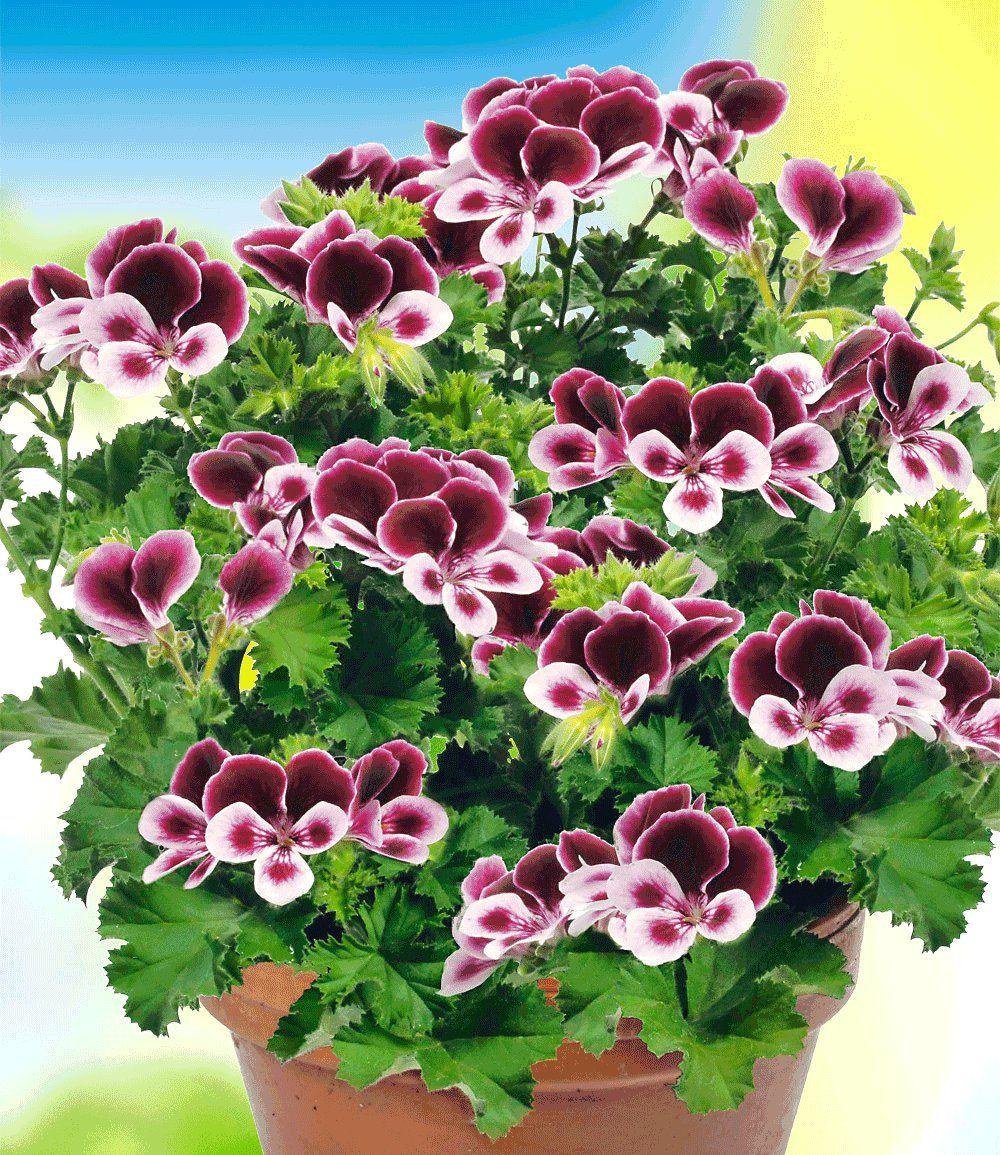 Martha Washington Geraniums Care: Geur Geranium PAC® 'Angels Perfume®'