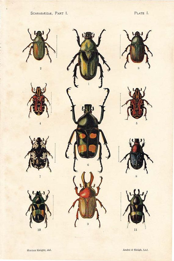 1910 Vintage Scarabs Chromolithograph Print  Beetle by carambas
