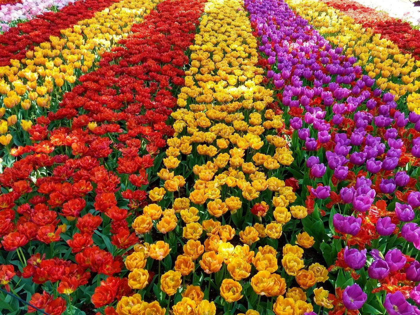 Tulip Fields In The Netherlands When Where 2020 In 2020