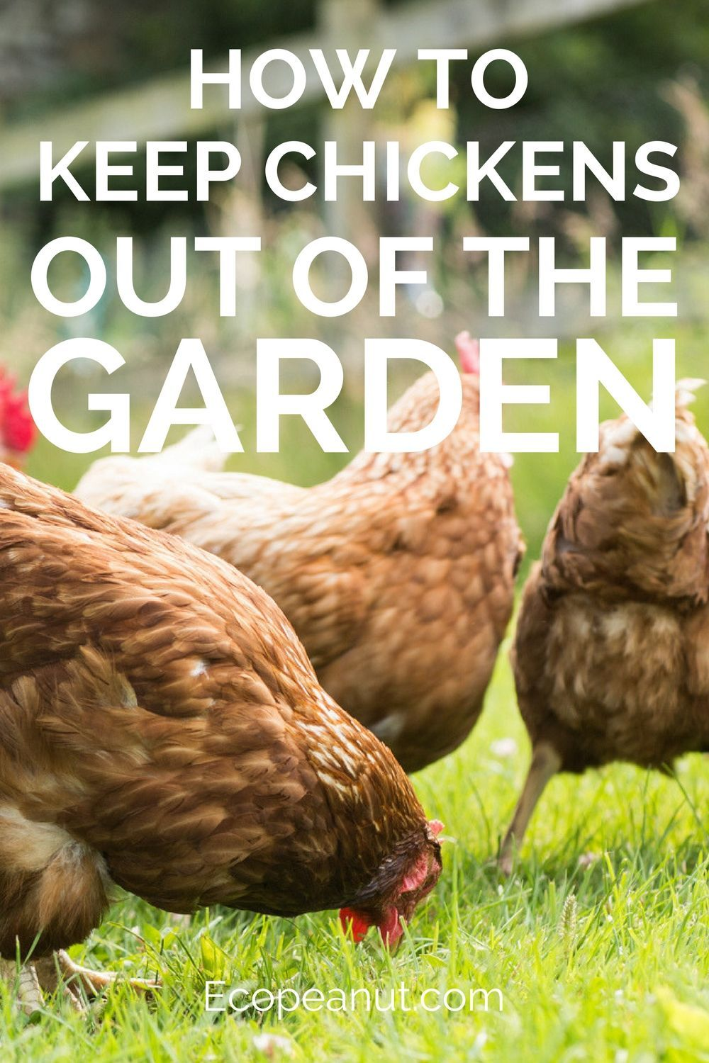 How To Keep Chickens Out Of The Garden   Chickens backyard ...
