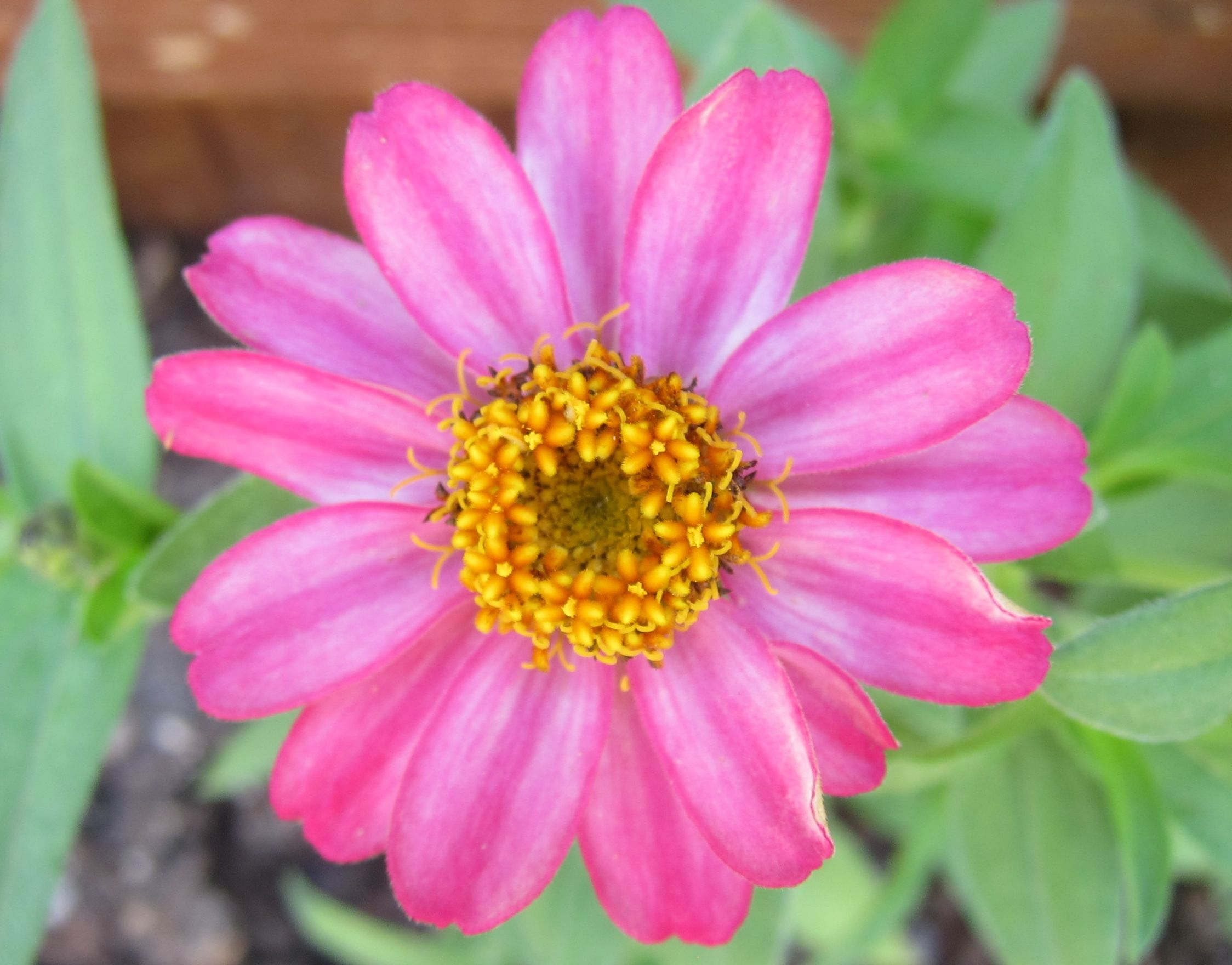 Zinnia, meaning thoughts of absent friends. Flower