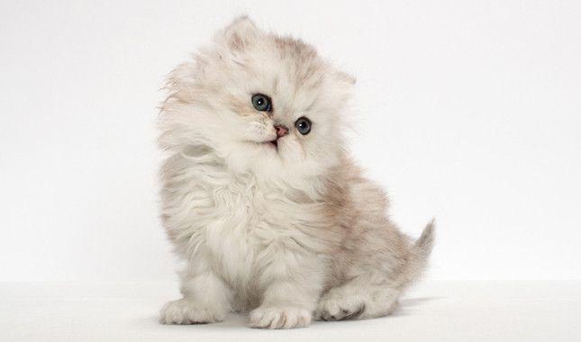 Tetsu Yamazaki Animal Photography Tiny See More Tops Tea Cup Cat Breeds At Catsincare