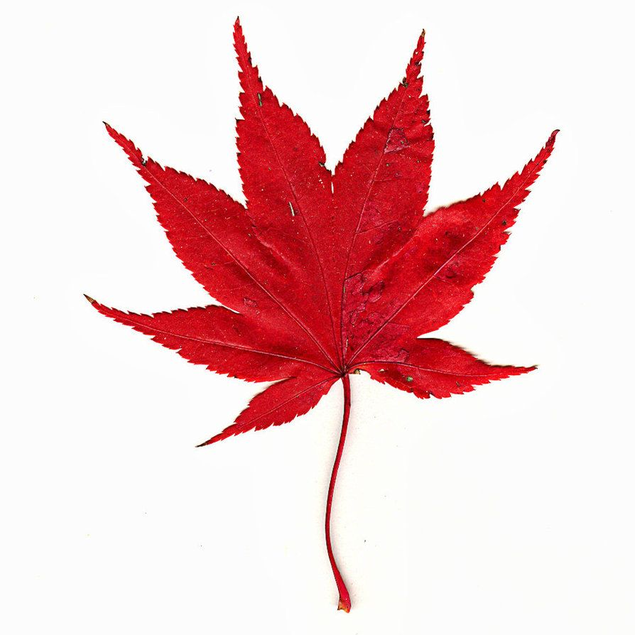 Japanese Maple Leaf By Muffet1 On Deviantart Maple Leaf Pictures Maple Leaf Images Maple Leaf Tattoo