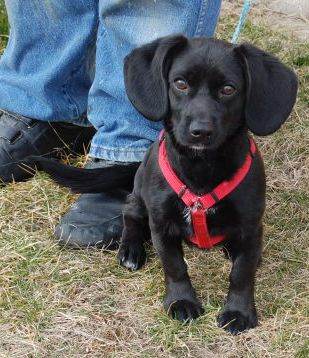 If Ralph And Rusty Had A Baby A Black Lab And Dachshund Mix A