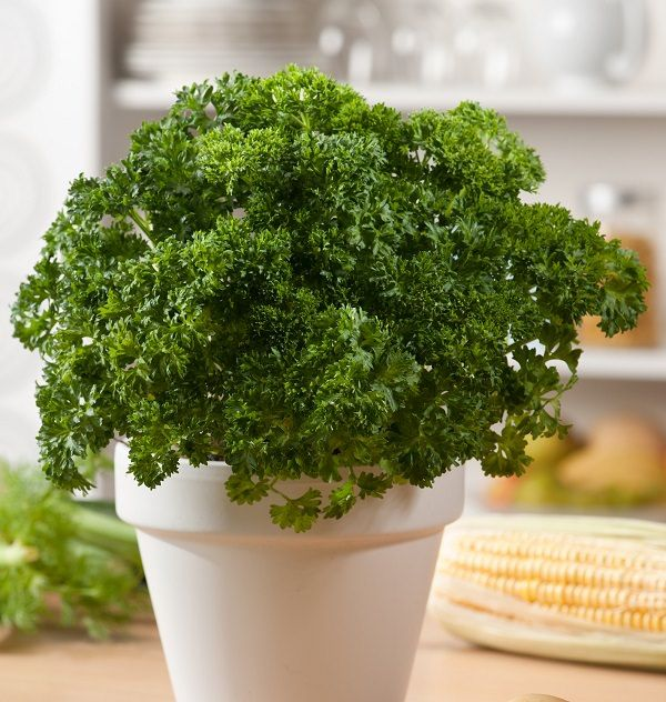 How To Grow Parsley In Pots Year Round In A Little To No Space Growing Parsley Growing Parsley Indoors Parsley Plant