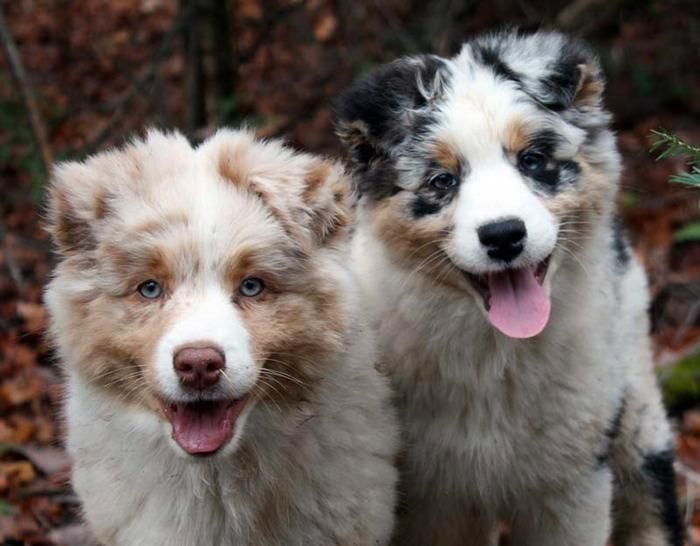 Welcome To Ninebark Aussies Aussie Dogs Australian Shepherd Dogs