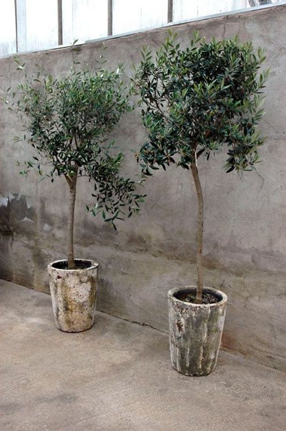 Olive Trees Wedding Decor For Indoor Venue Potted Olive Tree Potted Trees Plants