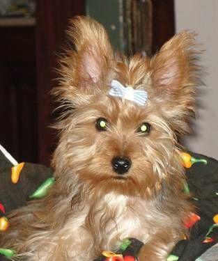 Golden Yorkshire Terrier Puppy Yorkshire Terrier Yorkshire Terrier Puppies Cute Creatures