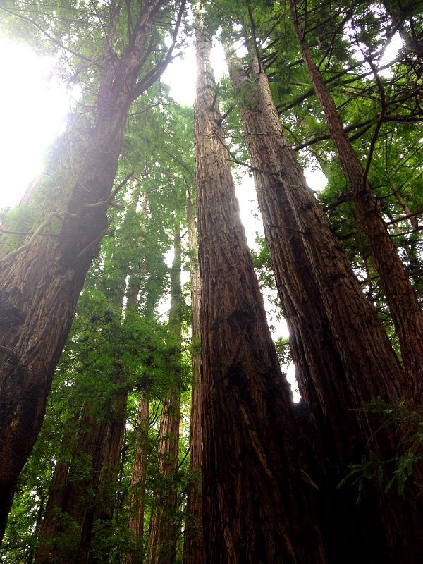 Muir Woods in San Francisco, CA. These huge ancient redwoods are absolutely gorgeous and stunningly breathtaking!