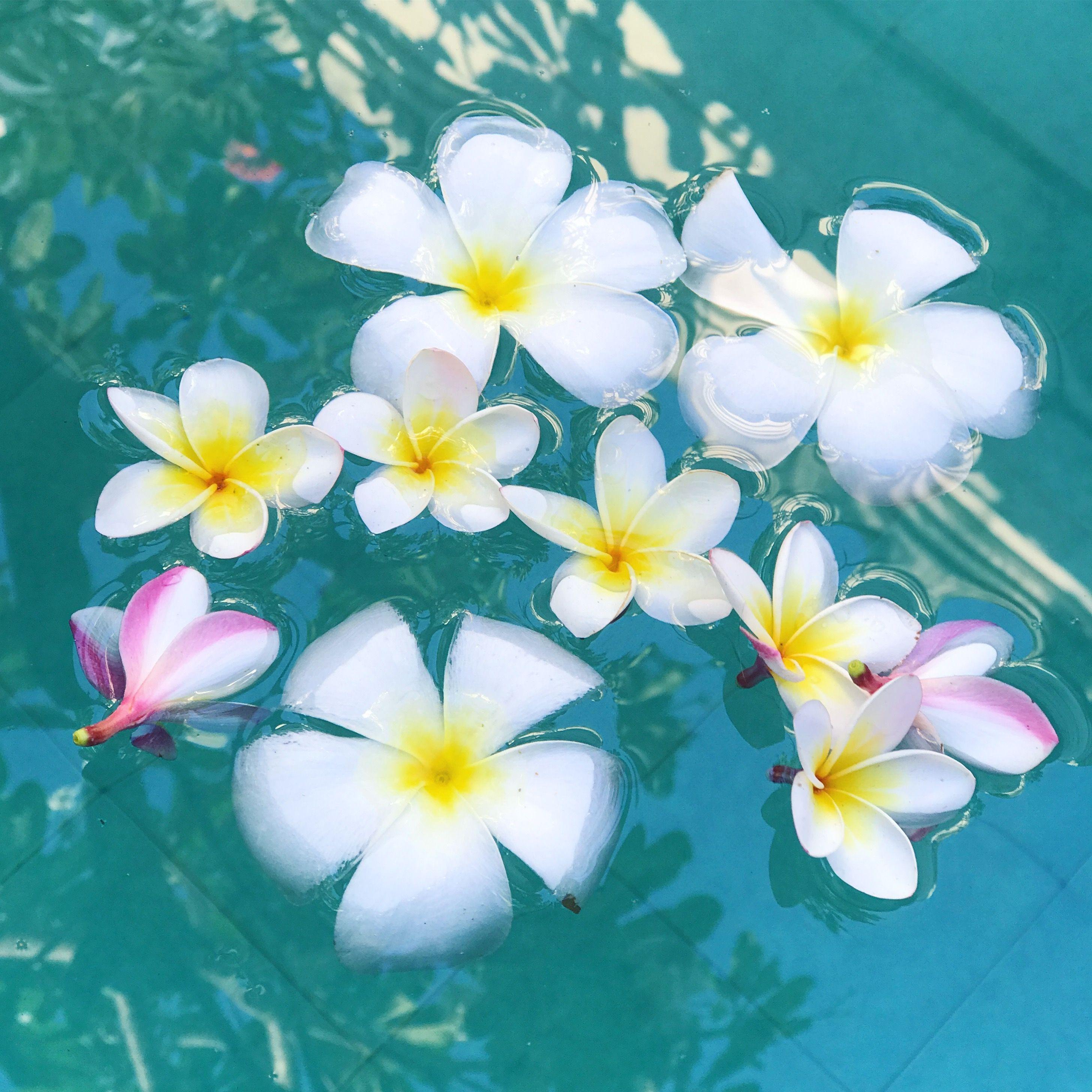 Plumeria 季節の生花種類 トロピカル 綺麗な絵
