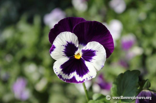 Scriptures Praise Pansies Flowers Flower Pictures Pansies