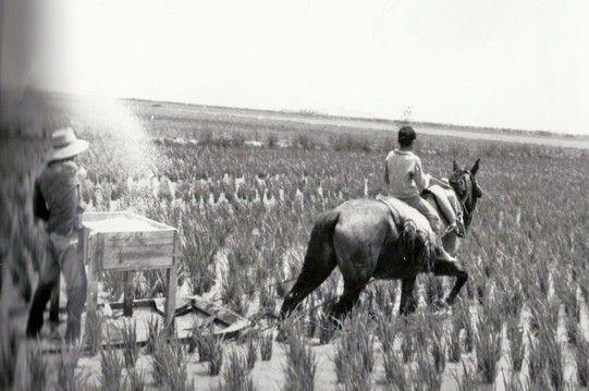 Más tarde se inventó el abonado de cobertera sobre trineo pisando los piquetes a los que sólamente el caballo dañaba. Pero valía la pena. Eliminamos el trabajo más pesado del arroz