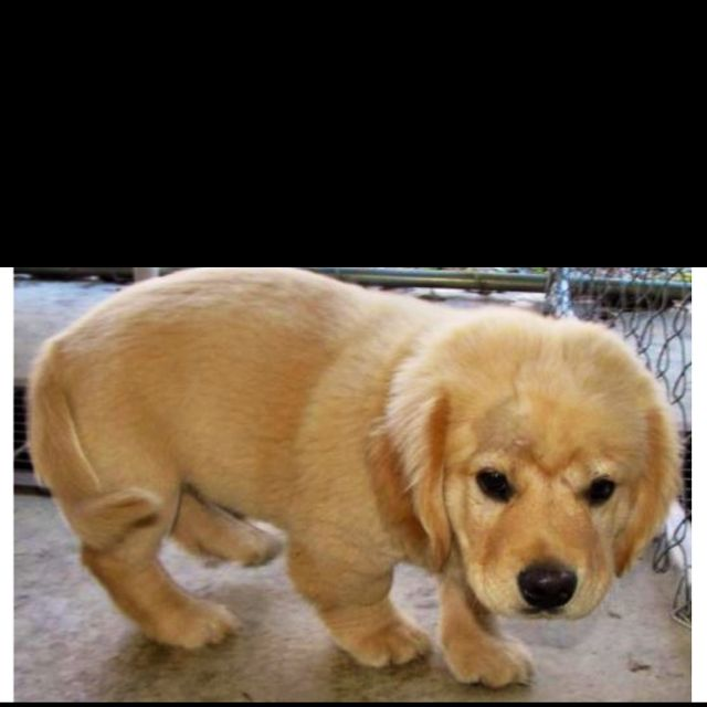 Puppy Named Franklin Corgi Dog Corgi Lab Mix Cute Animals
