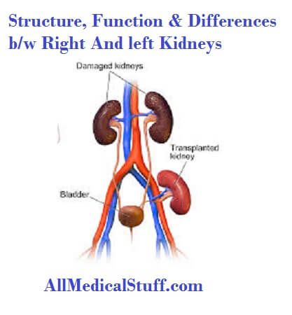 Structure And Functions of Kidneys | All medical stuff | Pinterest