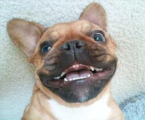 French Bulldog Grinning from bat ear to bat ear.