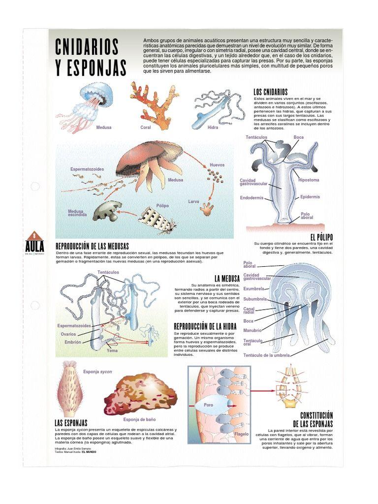 Infografia sobre los Cnidarios o celentéreos y esponjas poríferos ...