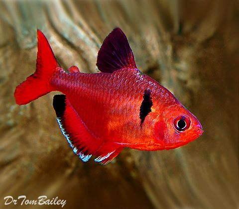 Serpae Tetra For Sale Aquarium Fish Fresh Water Fish Tank Tropical Freshwater Fish