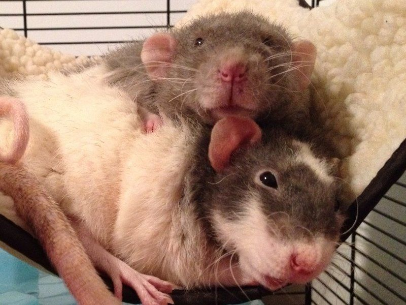 Cute little rats snuggle up for nap time cute rats