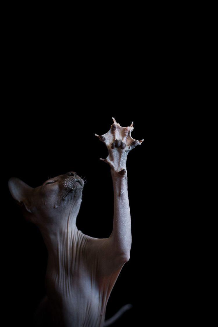 Sphynxes Sphynx Cat Sphynx Hairless Cat