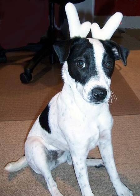 A Very Cool Jack Russell With Black Spots