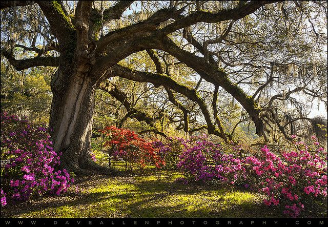 Southern Comfort Blooming Azalea Flowers in Charleston