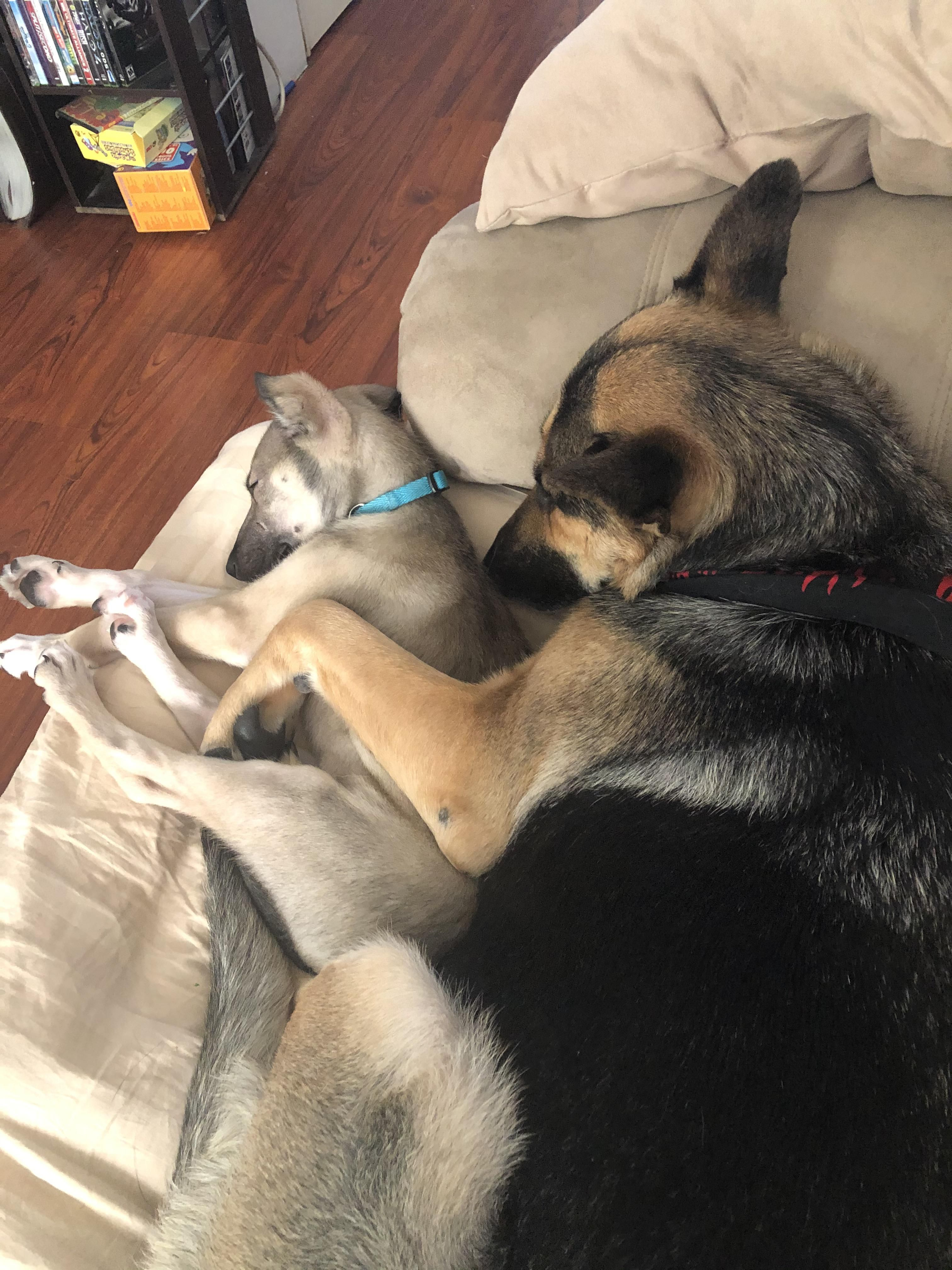 44 german shepherd mix breed reviews in 2020 with images