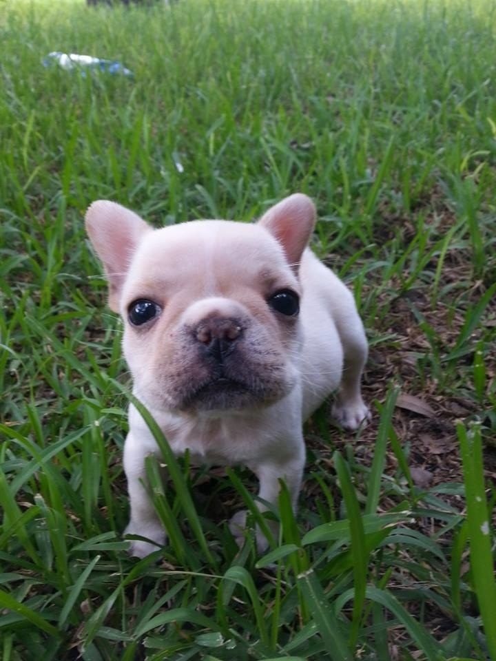 Holy Hecking Heck French Bulldog Puppies Are Just The Best