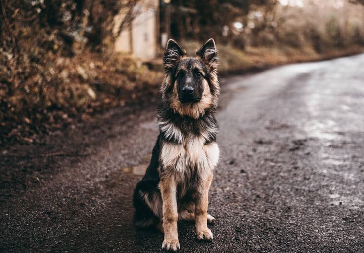 Why Are Dogs So Loyal Pets German Shepherd Dogs Shepherd Dog