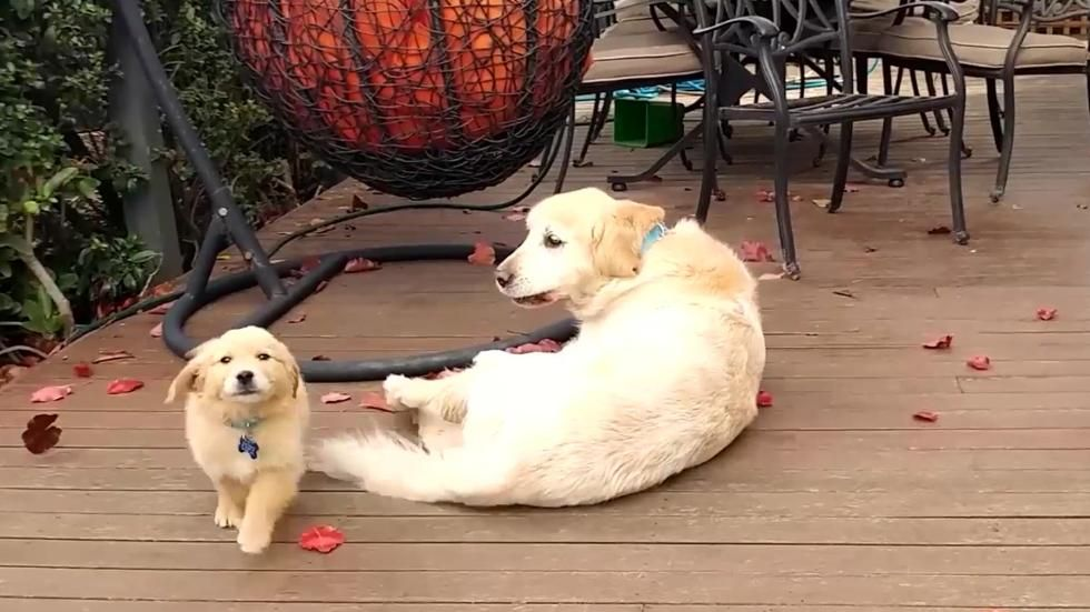 A Golden Retriever a new puppy to the family home